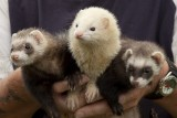 The Denbigh Show Ferrets
